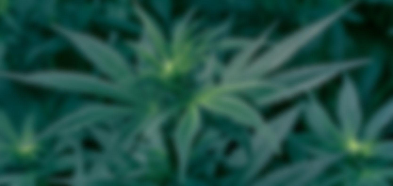 blured-cannabisdark